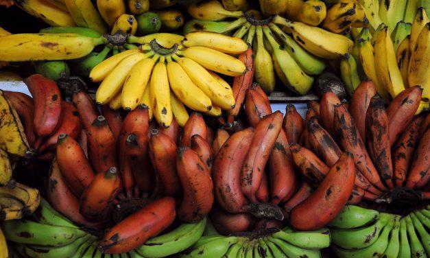 La Fundación Gates alimentará niños africanos con Bananas Transgénicas