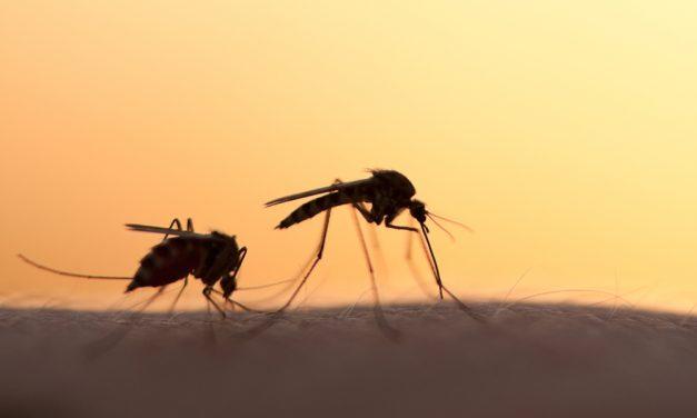 Google liberará 20 millones de mosquitos creados en Laboratorio