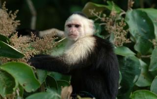 """El mono carablanca, maicero cariblanco, capuchino, tanque, mach'n, caurara o carita blanca1 (Cebus capucinus) es un mono del nuevo mundo de tama–o medio perteneciente a la familia Cebidae.  Es nativo de los bosques de AmŽrica Central y de la parte m‡s noroccidental de SudamŽrica y muy valioso por su papel como dispersador de semillas y polen. En los œltimos a–os se ha convertido en una especie muy popular en NorteamŽrica.  Es un mono de tama–o mediano, que alcanza en peso hasta 3.9 kg (1500 - 4000 g). Son casi completamente negros, pero tienen cara rosada y pelo blanco en gran parte del frente de su cuerpo, por eso se les llama comœnmente """"cariblancos"""".  En su h‡bitat natural es muy vers‡til, adapt‡ndose a varios tipos de bosques y consumiendo muchos tipos de comida que incluyen frutas, diferentes vegetales, invertebrados y peque–os vertebrados. Viven en grupos que incluyen machos y hembras y que pueden exceder los 20 individuos. Se ha documentado que esta especie es capaz de recurrir a la creaci—n y uso de herramientas como armas o instrumentos para obtener comida.  En Panama se pueden encontrar ocho diferentes especies de primates, de los cuales varios son considerados endŽmicos. ©Alejandro Balaguer/ Fundacion Albatros Media"""